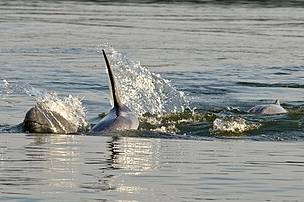 The critically endangered Irrawaddy dolphin, Orcaella brevirostris, photographed at Kratie Province in northeast Cambodia. The Mekong dolphin population is estimated at between 66 and 86 individuals inhabiting a 190km stretch of the Mekong River between Cambodia and Lao PDR.