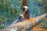 Illegal logging, Tesso Nilo, Sumatra, Indonesia. Illegal logging is a major threat to the world's ... / ©: WWF-Canon / Volker Kees