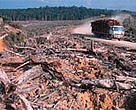 Illegal logging for the paper industry, Riau province, Sumatra, Indonesia.