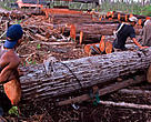 Illegal loggers clearing a swamp forest for a palm oil plantation. Central Kalimantan (Borneo), Indonesia. 
