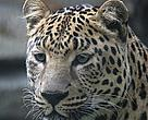 Amur leopard (Panthera pardus orientalis).