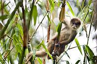 Mono Purus Manu / ©: WWF Perú
