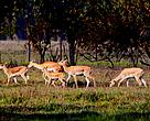 New born fawns frolicking with other blackbuck in the Shukhlaphanta Wildlife Reserve