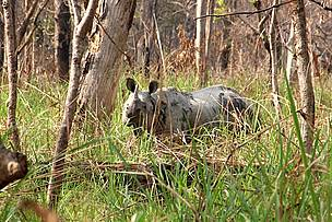 Rhino hiding in a bush, Chitwan National Park