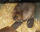 One of the 15 beavers released at Tiszatarján.