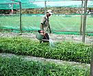 Watering rattan species in one of 7 rattan nurseries established to produce rattan seedlings with assistance from WWF's Rattan Project.