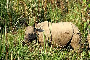 Adolescent Rhino in Chitwan national Park