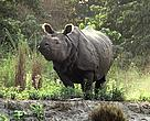 Rhinocerous in Chitwan national Park