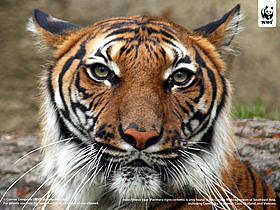 Indochinese tiger (Panthera tigris corbetti) is only found in the Greater Mekong region of ... / ©: Connie  Lemperle / WWF Greater Mekong