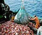 Industrial fishing of the deep-sea fish orange roughy, also known as deep-sea perch. / ©: Australian Fisheries Management Authority.