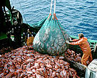 Industrial fishing of the deep-sea fish orange roughy, also known as deep-sea perch.