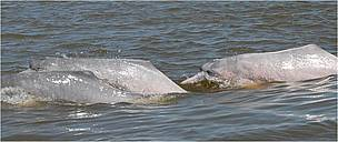 The Amazon River dolphin or pink river dolphin was recorded by science in the 1830s, and given the scientific name of Inia geoffrensis. In 2006, scientific evidence showed that there is a separate species – Inia boliviensis – of the dolphin in Bolivia, although some scientists consider it a subspecies of Inia geoffrensis. In contrast to the Amazon River dolphins, their Bolivian relatives have more teeth, smaller heads, and smaller but wider and rounder bodies.