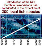 Introduction of the Nile Perch in Lake Victoria has contributed to the extinction of 200 local fish ... / &copy;: WWF