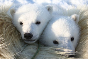 Polar bear (&lt;i&gt;Ursus maritimus&lt;/i&gt;) cubs. Svalbard, Norway. / &copy;: NPI