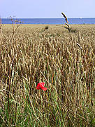 A wheat field with the Baltic Sea in the background. / &copy;: Imke Schulze / iStockPhoto