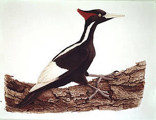 Ivory-billed (&lt;i&gt;Campephilus principalis&lt;/i&gt;) woodpecker drawing. / &copy;: WWF-Canon / Paul BARRUEL