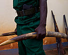 Ranger holding seized ivory with seized guns in background, outside WWF office in Yokadouma, East province, Cameroon.