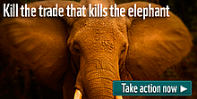 Join our campaign to end the illegal wildlife trade. We must kill the trade that kills elephants, ... / &copy;: naturepl.com / Jeff Vanuga / WWF-Canon