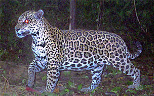 A jaguar is photographed by a camera trap as part of a large-scale census of jaguars in the Amazon ... / ©: Santiago Espinosa