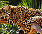 The Atlantic Forest is home to many endangered species, including the jaguar (&lt;I&gt;Panthera onca&lt;/I&gt;).
