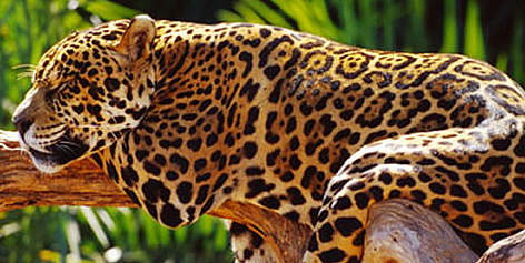 Jaguar (&lt;i&gt;Panthera onca&lt;/i&gt;), Brazil. rel=