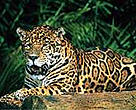 Tumucumaque NP is home to many endangered species, including jaguars.<BR>