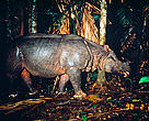 Camera trap photo of the Javan Rhino in the Greater Annamites forest in Vietnam. The Javan rhino is perhaps the most threatened large mammal in the world, with only two populations known to exist in the wild.
