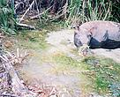 A Javan rhino photographed in December 2005.