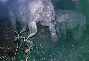 Javan rhino mother and calf taken by a camera trap at Citadahan watershed in Ujung kulon National Park. Indonesia.