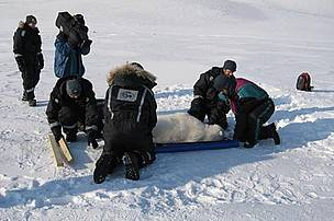 A joint effort to weigh the polar bear.