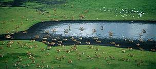 Kafue Flats with Cattle egrets (&lt;i&gt;Bubulcus ibis&lt;/i&gt;) and Kafue lechwe (&lt;i&gt;Kobus ... / &copy;: WWF-Canon / Sarah BLACK