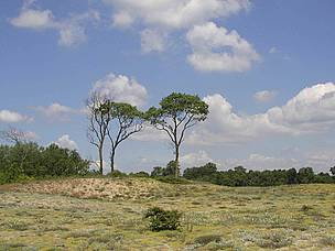 trees in dand dunes