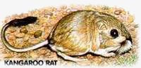 Kangaroo Rat. / &copy;: WWF