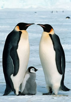 Emperor penguin (<i>Aptenodytes forsteri</i>) adults & chick, Dawson-Lambton Glacier, Antarctica.