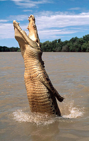 Saltwater crocodile jumping out of the water for offered food, Australia. / ©: WWF-Canon / Martin HARVEY