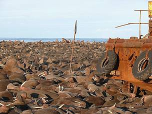 Walrus haulout. Ryrkaypiu, Chukotka, Russia.