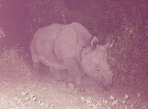 Rhino captured in a corridor restoration area. Wildlife frequently use this corridor to between ... / ©: WWF Nepal