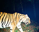 Kuiburi tiger documented by camera trap