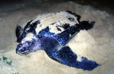 Leatherback turtle (&lt;i&gt;Dermochelys coriacea&lt;/i&gt;) laying eggs on the beach. / &copy;: WWF-Canon / Martin HARVEY