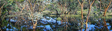 Recently flooded eucalypt forest in the Mallee Landscape of southwestern Australia. rel=