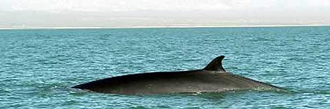 Fin whale (Balaenoptera physalus) surfacing. Whale watching in Baja California, Mexico. rel=