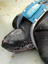 The leatherback turtle named Dona Merluza. Click to view an enlarged picture. / &copy;: WWF