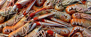 Langoustine (<i>Nephrops norvegicus</i>) caught according to the environmental and social standards of the Marine Stewardship Council (MSC), Scotland.