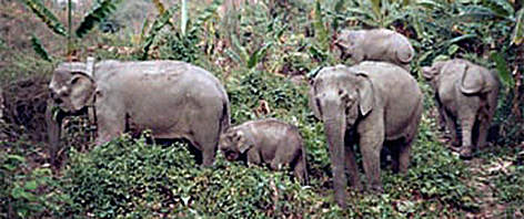 Wild Asian elephants (<i>Elephas maximus</i>) rel=