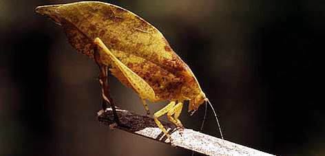 Leaf insect, Taï National Park, Ivory Coast Project. rel=