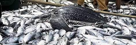 By-catch of Leatherback turtle (Dermochelys coriacea) rel=