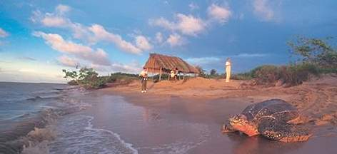 Leatherback turtle returning to sea after nesting. French Guiana. rel=
