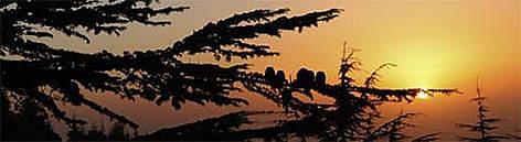 Lebanese cedar (<i>Cedrus libani</i>), Al-Shouf Cedar Nature Reserve, Lebanon. / ©: WWF-Canon / Michel GUNTHER