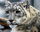It is estimated that fewer than 7,500 snow leopards remain in the wild