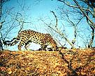 One of the eight rare Far Eastern Leopards captured on camera traps in Russia